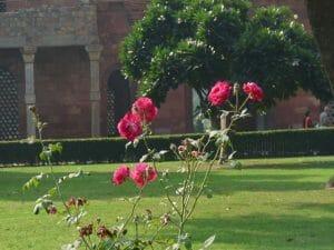 krzak rózy w delhijskim ogrodzie